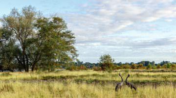 Réserve naturelle d'Arjuzanx : peuple des grues