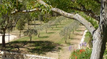 Jardin privé dans le Luberon : l'oliveraie